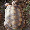 Desert Tortoise, September 2011