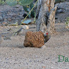 Woodpecker, Curved Bill Thrasher and a Sparrow all enjoying a quail block. Jan 2011