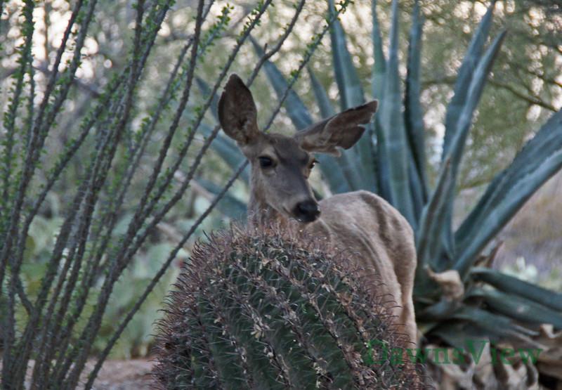 June 2011, Mule deer drinking water
