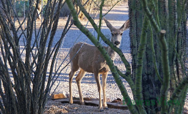 May 2013, Deer in yard after water.
