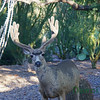 Mule deer getting water on a Sept 2011 morning.  Tucson, AZ