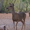 Mule Deer, June 29, 2013