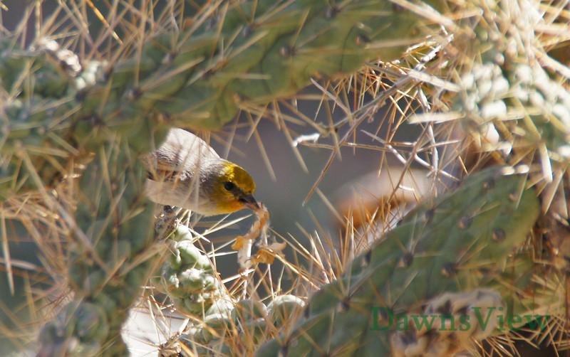 March 2013, Tucson AZ, Verdin bringing nesting material to nest in Cholla cactus