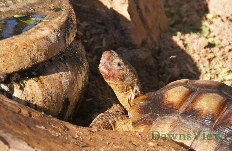Desert Tortoise on a September afternoon 2011. This one just ate some fruit from the prickly pear cactus which is why it's mouth is red.  Look close at those teeth.