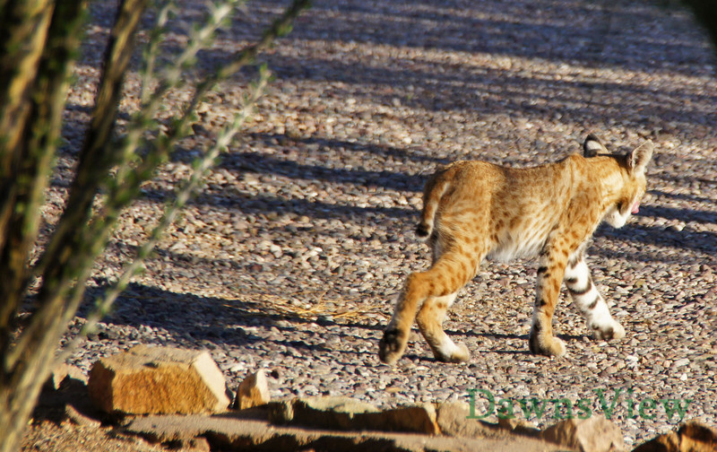 Bobcat coming for water August 2011