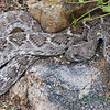 Diamond back rattle snake, July 1, 2013