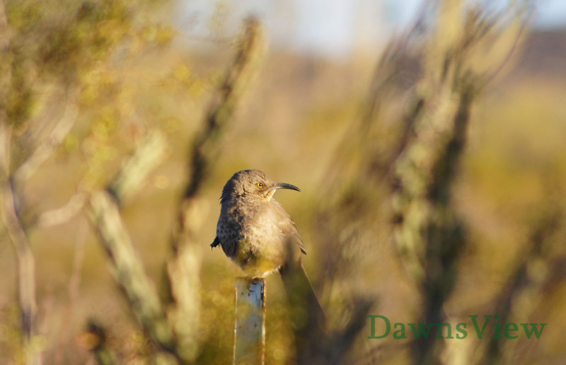 Curved bill Thrasher, Tucson AZ.  Jan 30, 2011 in the afternoon.  Sitting on a fence post holding up one leg