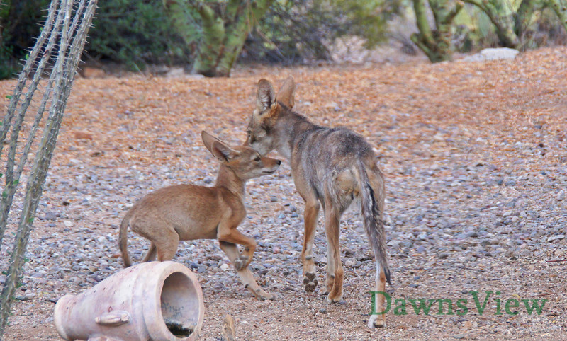 Mother Coyote and her pup, June 29, 2013