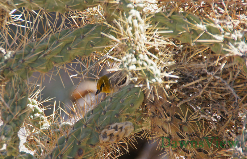 March 2013, Tucson AZ, Verdin bringing nesting material to nest in Cholla cactus