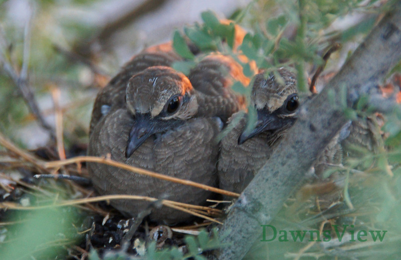 Baby Doves in the nest at sunset