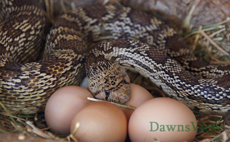Bull Snake caught eating the chicken eggs, June 2012