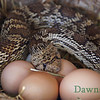 Bull Snake caught eating the chicken eggs, June 2012
