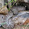 Diamond back rattle snake, July 1, 2013