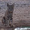 Bobcat, Tucson, AZ
