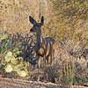 June 2011 Mule Deer