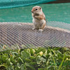 Now I know why some of my spinach was gone, This little one would watch on top while it's partner would take the spinach.  I have since placed the wire down tighter against the whiskey barrel.  This could also explain why my cats have wanted to go outside so bad. Tucson, AZ Feb 19, 2011