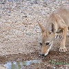 A Coyote Pup, June 29, 2013