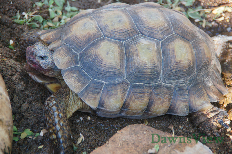 Desert Tortoise, Tucson, AZ September 2011