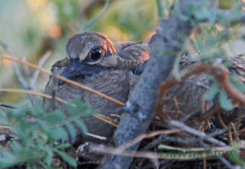 Baby Dove in the nest at sunset