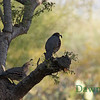 Quail in Ironwood tree