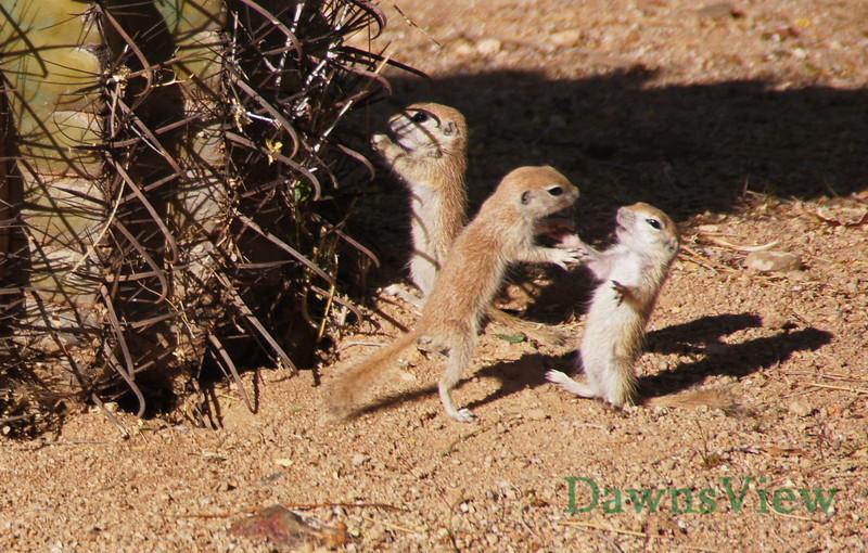 Juvenile ground squirrels at play May 2013