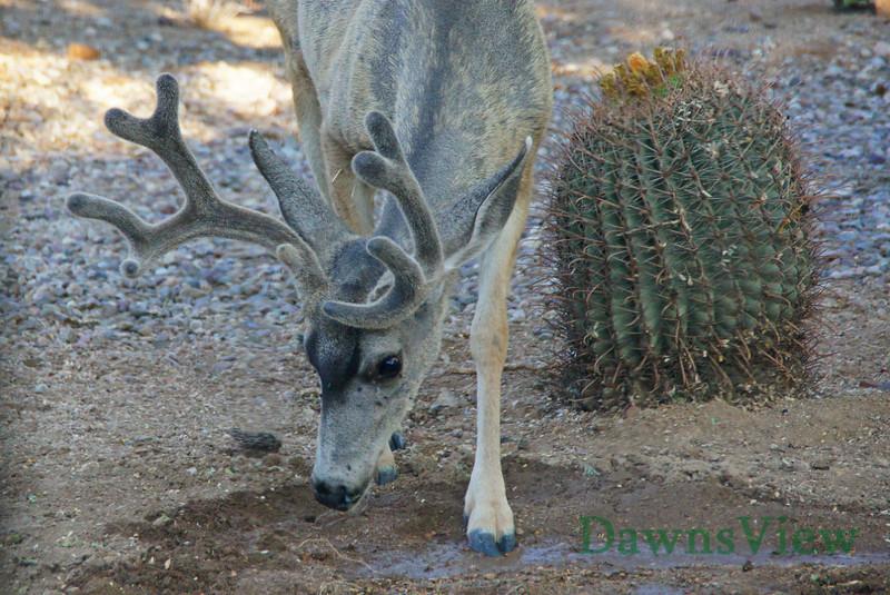 Mule Deer getting water, still in velvet.  Tucson, AZ Sept 2011