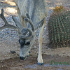 Mule Deer getting water, still in velvet.  Tucson, AZ Sept 2011