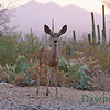 A young Mule Deer, June 29, 2013
