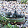 Quail Family at the water on a hot summer day