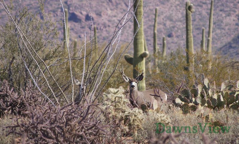 Mule Deer from my back yard-Saturday morning Feb 5, 2011