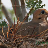 Dove sitting on eggs in Ironwood Tree,Tucson AZ July 24, 2011