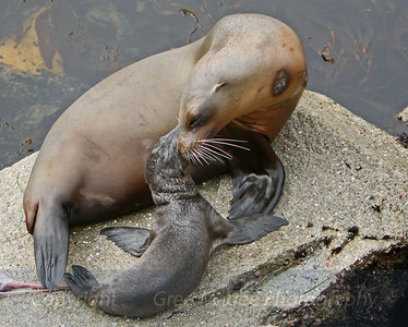 Sea Lion and Newborn