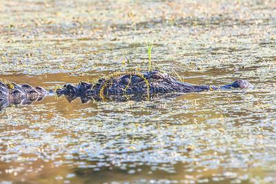 Louisiana swamp-2
