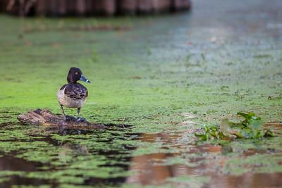 Louisiana swamp-54