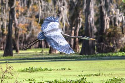 Louisiana swamp-31