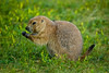 Prairie dog outside Devils Tower, WY