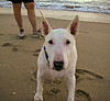 Amy is an Am Staff whom I see on the beach some mornings walking her human at sunrise around the Gulfstream Club