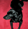 Black lab, red rug; one of the uncountable number of black Labrador Retrivers, my brother-in-law Bruce has owned over the decades.