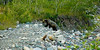 "Ursus Arctos Horribilis, Glacier National Park; America's supreme apex predator<br /> <br /> I remembered that quote from Peter Benchley, ""In the presence of the Great White, time suspends.""<br /> <br /> Even though all she was doing was harvesting berries."