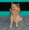 Kerry Terrier, Killarney, Ireland; County Kerry