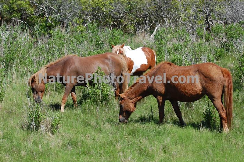 Chincoteague Ponies - Grazing.