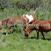 Chincoteague Ponies - Grazing.