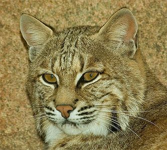 Bobcat, OKC Zoo