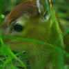 Tina's deer #2 - my friend Tina found this fawn in her yard  hiding amongst some brush