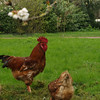 Gallinas camperas