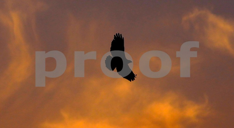 California Red Tailed Hawk at Sunset