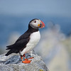 A Posing Puffin | Machias Seal Island, New Brunswick, CA