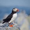 A Posing Puffin | Machias Seal Island, New Brunswick, CA