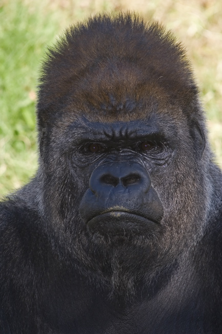 Male Silverback, OKC Zoo