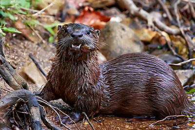 River Otter With His Mouth Full